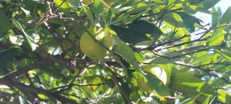 Lemon Tree Rhodes