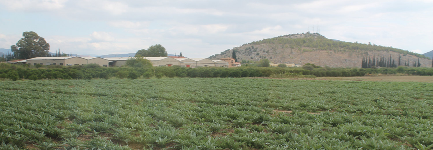 A field of artichokes near Mycenae